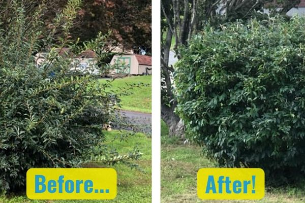 A before and after comparison of shrubs. In the before, the shrubs are overgrown and shapeless. In the after, Susquehanna Lawn Care has expertly pruned the shrub back to their natural, healthy shape.