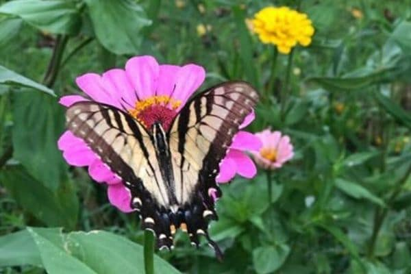 A brown and khaki colored butterfly resting on a pink flower.